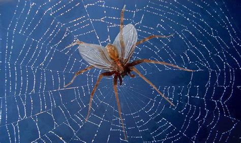 flying spiders  fact     myth