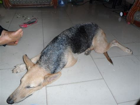 how to take care of a german shepherd puppy how to take care of a german shepherd pets nigeria