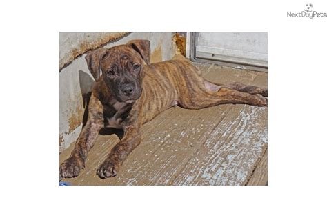pitbull puppies for sale in milwaukee american pit bull terrier puppy for sale near milwaukee wisconsin 60cb732d c381