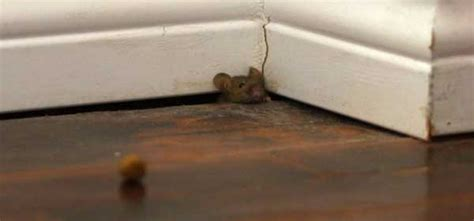 Mouse In The House by The House Mouse Barrier Pest Solutions