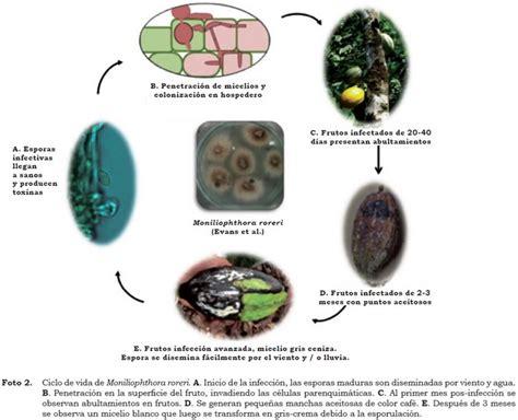 cadenas de suministro en nicaragua estado de la moniliasis del cacao causada por
