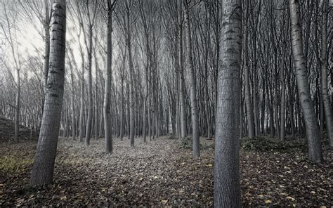 white treee black and white trees forest www pixshark images