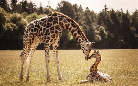 imagenes con jirafas fondo de pantalla jirafas bebe la madre hd