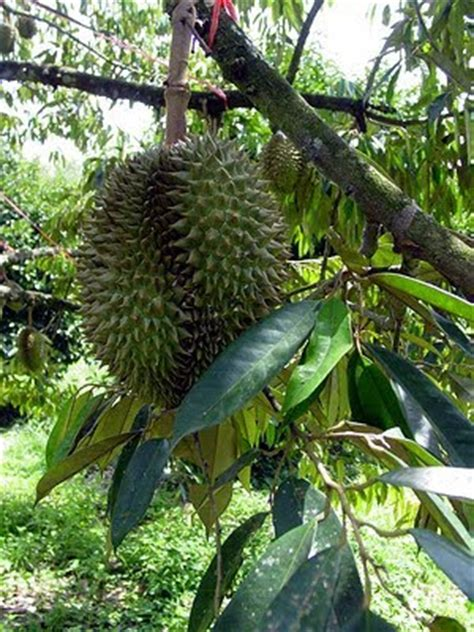 durian fruit tree in the united states and the philippines 1960 to the