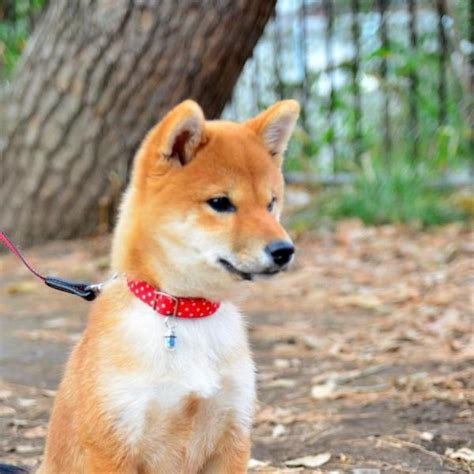 all about the shiba inu shedding of shiba inus