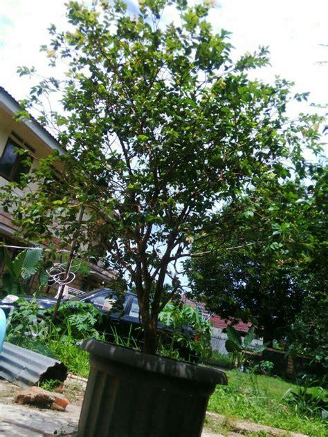 Tanaman Buah Anggur Pohon 40cm bibit anggur pohon atau anggur brazil daftar harga