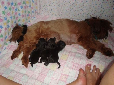 tiny shih tzu puppies about our imperial shih tzu tiny tot shih tzu imperial shih tzu puppies