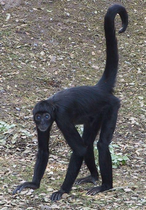 colombian black spider monkey  fota wildlife park spider monkey endangered animals