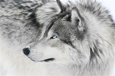 The Silver Wolf image silver wolf jpg the warrior cats and