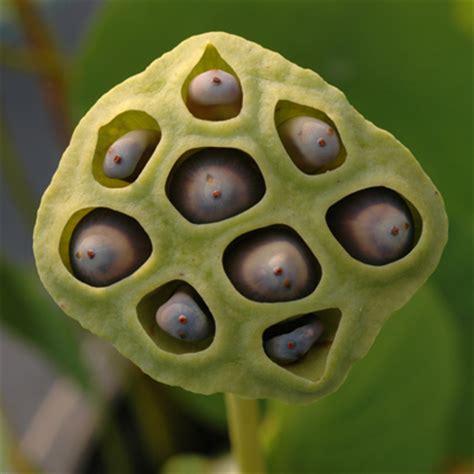 torus or fruit of lotus