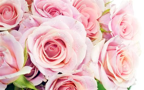 roses wallpapers pink roses wallpapers hd wallpapers id 8700