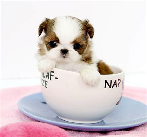 teacup shih tzu puppies for sale in houston teacup shih tzu puppies shih tzu amanda 3 500 1 png provided by royal teacup