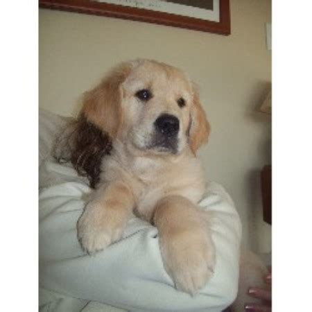 free puppies in md golden retriever breeders in maryland freedoglistings
