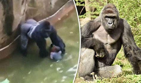 News Roundup Bushfires Jellyfish And Gorillas Attack harambe the gorilla cincinatti zoo chief defends shooting