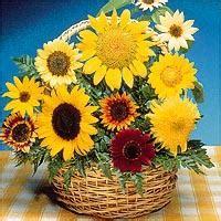 Biji Bunga Sweet Alyssum bibit bunga sunflower mix
