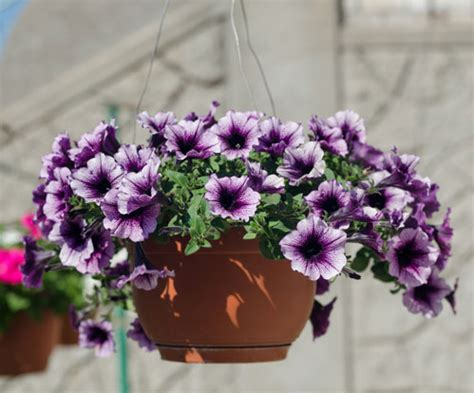 fiori per balconi soleggiati fiori a cascata per balconi fiori sul balcone with fiori