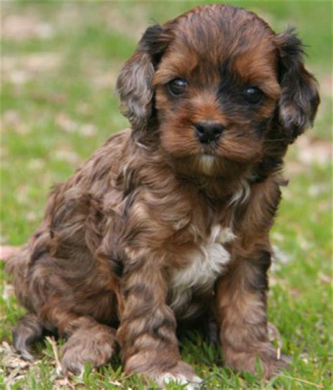 cockapoo puppies for sale in wi puppies for sale cockapoo cockapoos f category in manawa wisconsin