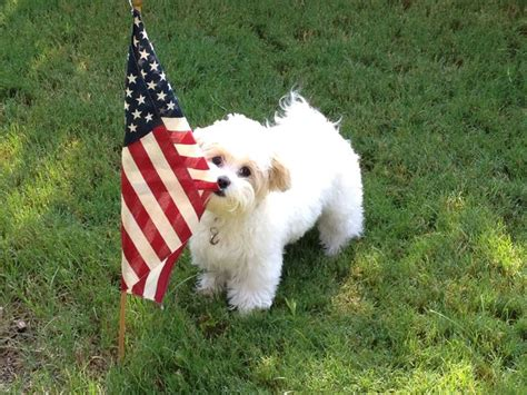 Flags Animals independence day special cutest pictures of patriotic animals animals zone