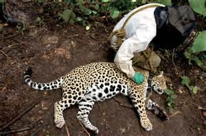 Do Jaguars Attack Humans Walking Jaguars In Bolivia Outside