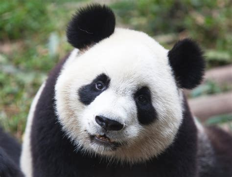 Black Panda by Black And White Panda Colors Photo 34711838 Fanpop