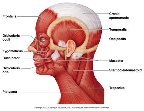 neck anatomy diagram anatomy muscles of neck human anatomy diagram