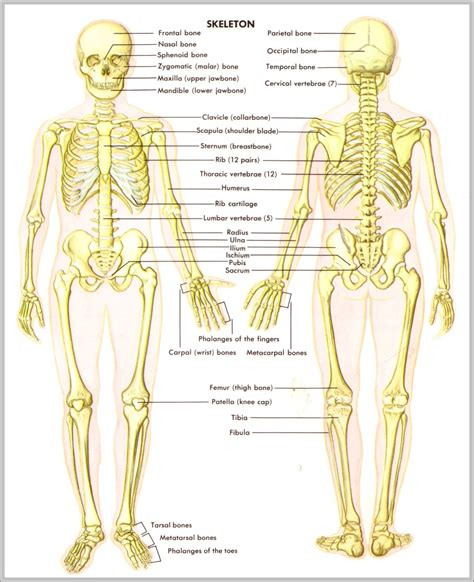 skeleton anatomy diagrams of muscles in the back diagrams free engine image for user manual