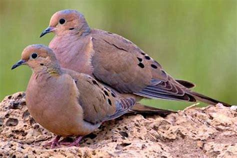 bird species mourning dove