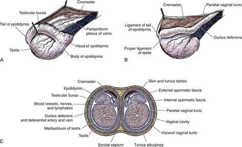 testicular diagram testes and veterian key