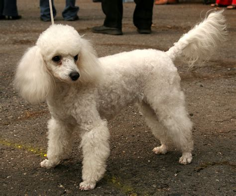 mini poodle info miniature poodle facts pictures price and
