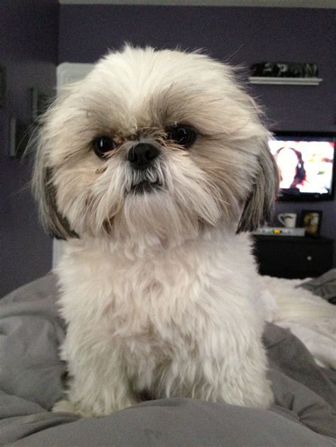 gray shih tzu 494 best images about animals on chihuahuas 12 days and puppys