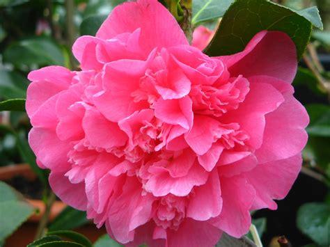 camellia flowering shrub camellia flowers world