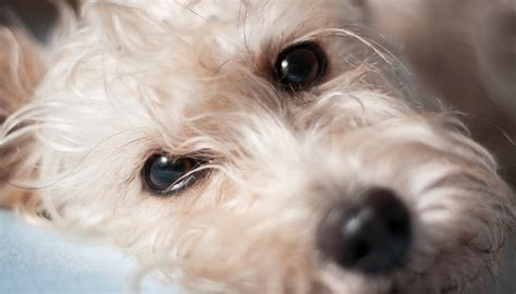 puppy eye boogers eye boogers what are they and how to get rid of them