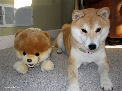 the gallery for gt shiba inu size grown