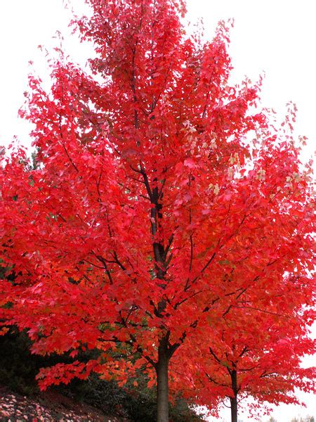 autumn blaze maple trees for sale fast growing trees