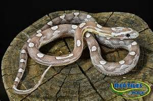 Ghost motley corn snakes for sale at reptiles by mack