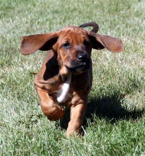 redbone coonhound puppies redbone coonhound info temperament puppies pictures