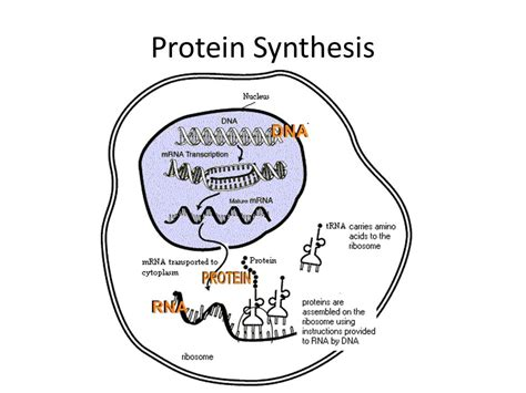 protein synthesis protein synthesis ppt