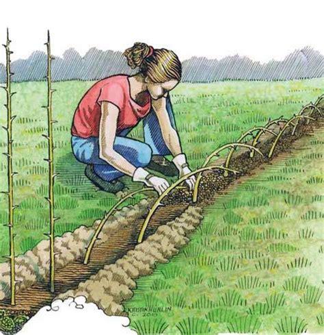 lade da giardino economiche una siepe impenetrabile con la maclura pomifera