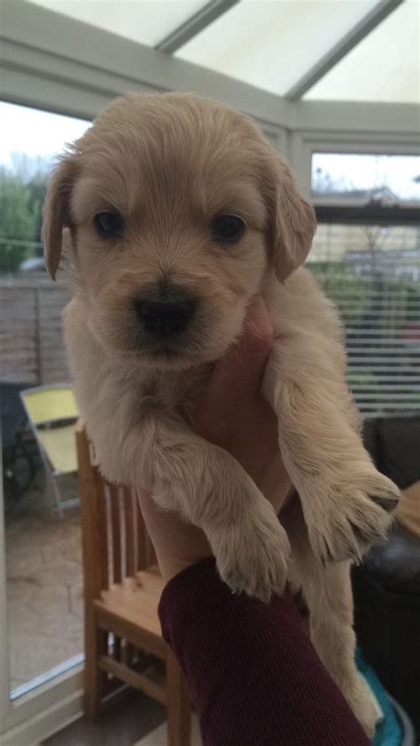 labradoodles puppies for sale kent golden labradoodle puppies for sale faversham kent