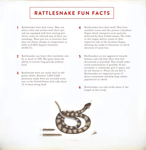 facts and information rattlesnake facts and information images