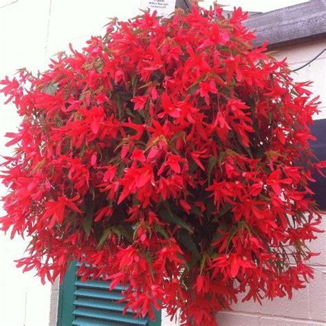 trailing hanging basket foliage plants begonia million kisses devotion is a stunning semi