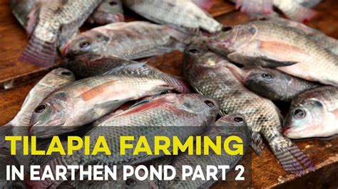 raising tilapia in your backyard raising tilapia in your backyard 28 images how to