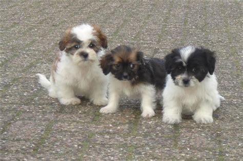 doodle puppy kopen labradoodle pups te koop