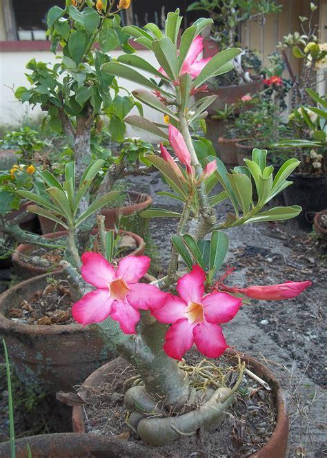 Kalachuchi On A Pot Mama Nene S Garden Flower Plants For Garden