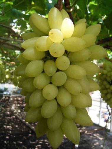 vivai uva da tavola uva da tavola vitis vinifera vivai alviano bonelli