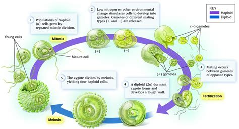 chlamydomonas cycle diagram zygotic cycle illustrated by the unicellular