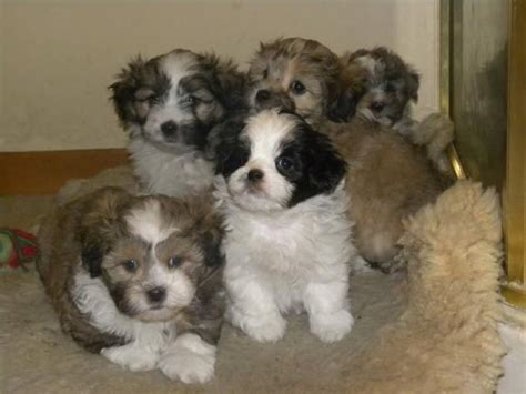 shih tzu cross poodle puppies 40 best shihpoo shih tzu poodle cross images on puppys puppies and shih poo