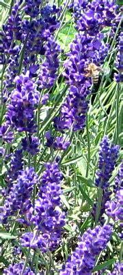 pflanzenfamilie lavendel lavendel wirksam gegen schlafst 246 rungen unruhezustr 228 nde