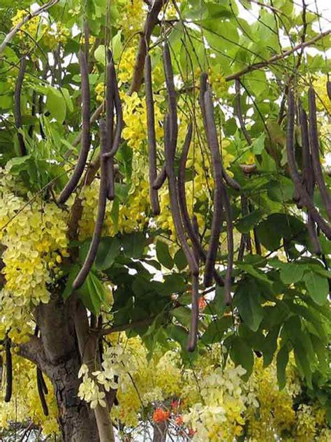 pianta ornamentale dai fiori penduli quot cassia fistula quot fiori forchette