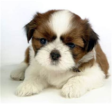 ohio shih tzu breeders shih tzus breeder shih tzu puppies